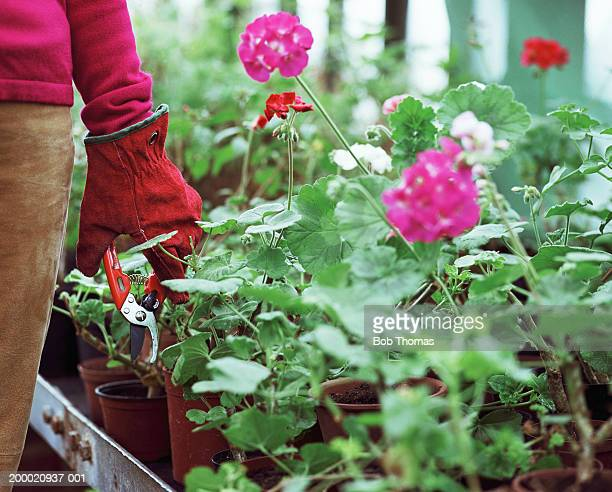 Woman holding secateurs in greenhouse, beside geraniums, close-up