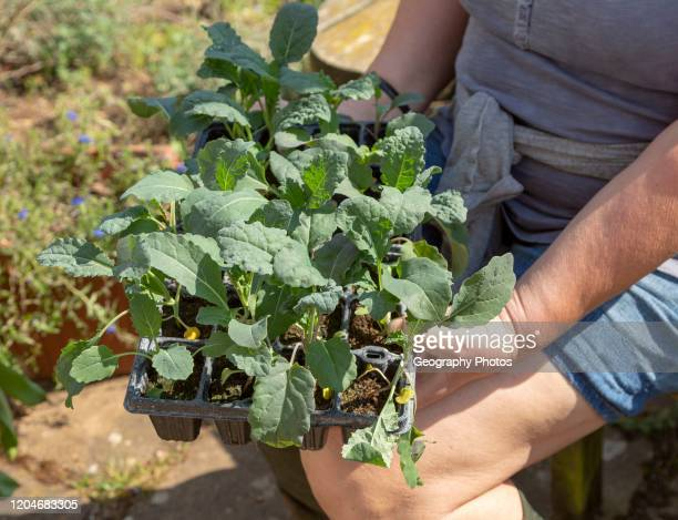 Woman holding seed tray of black kale plant seedlings Brassica oleracea Lacinato