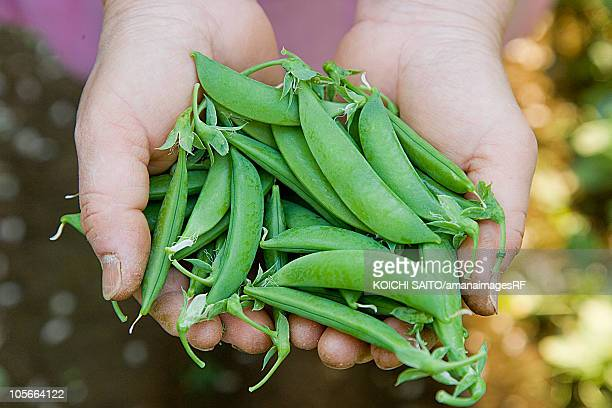 Woman holding snow peas, close up, differential focus