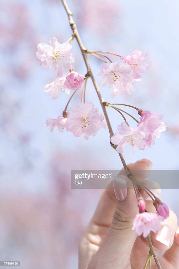 Woman holding the twig of a cherry tree, close up, Japan : Photo