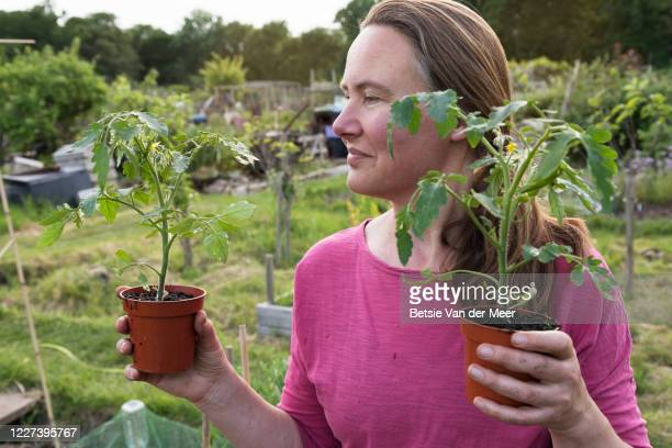 woman holding tomato plants, standing in allotment garden. - self sufficiency stock pictures, royalty-free photos & images