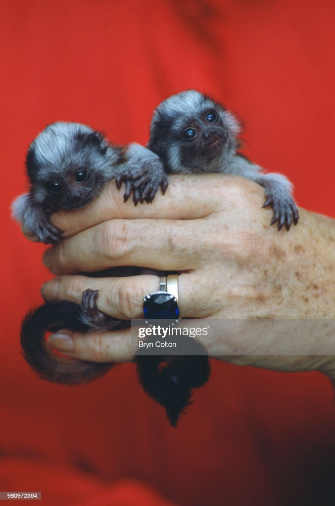 Baby Tamarin Monkeys : News Photo