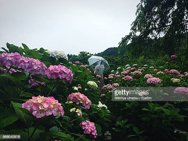 Woman Holding Umbrella While Standing On Hydrangea Field