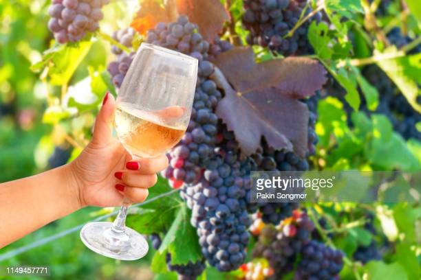 woman holding wine glass on vine grape in champagne vineyards background at montagne de reims - campania stock pictures, royalty-free photos & images