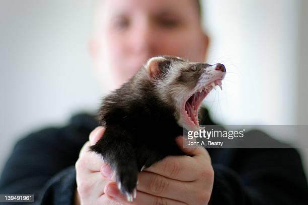 Woman holding yawning ferret