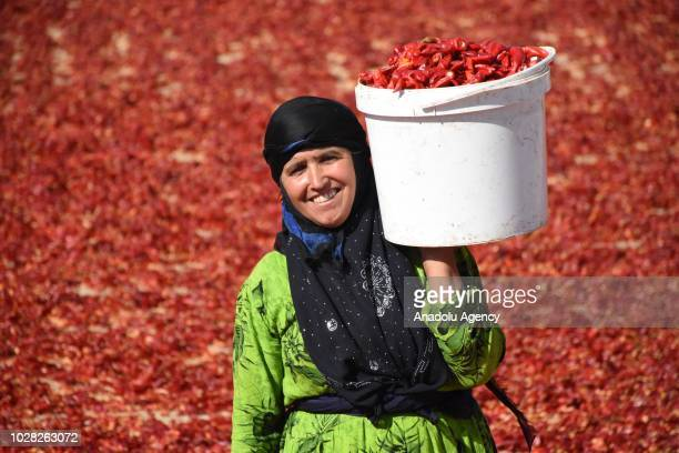 Woman holds a bucket of red peppers as they spread them on a field, in Gaziantep, Turkey on September 6, 2018. After red peppers are separated from...