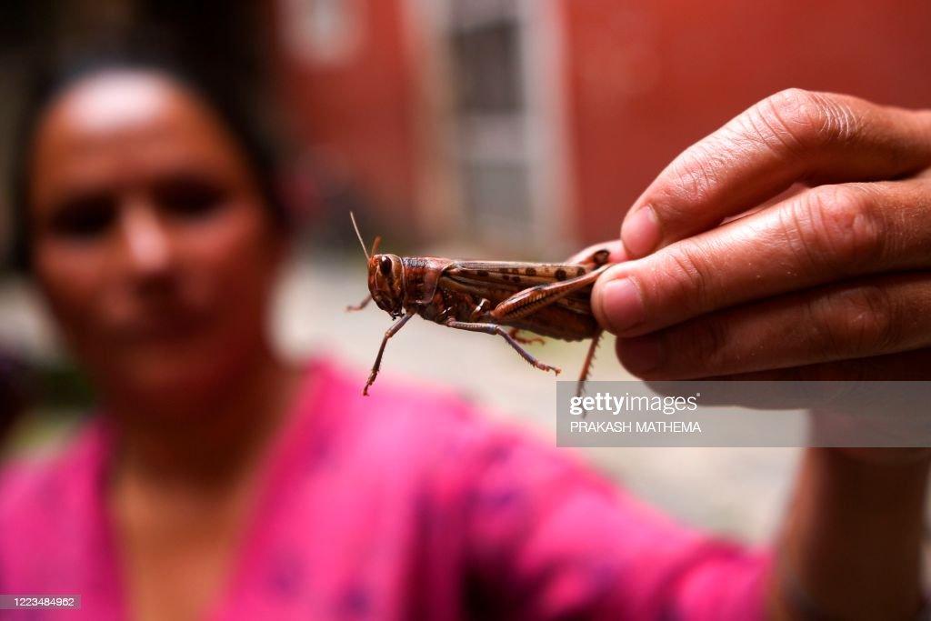 NEPAL-AGRICULTURE-LOCUST : News Photo