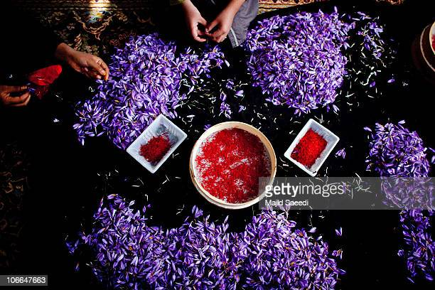 A woman holds a stigma of Crocus To separate Sativus the saffron crocus during the saffron harvest near the village of Goriyan in Herat Afghanistan...