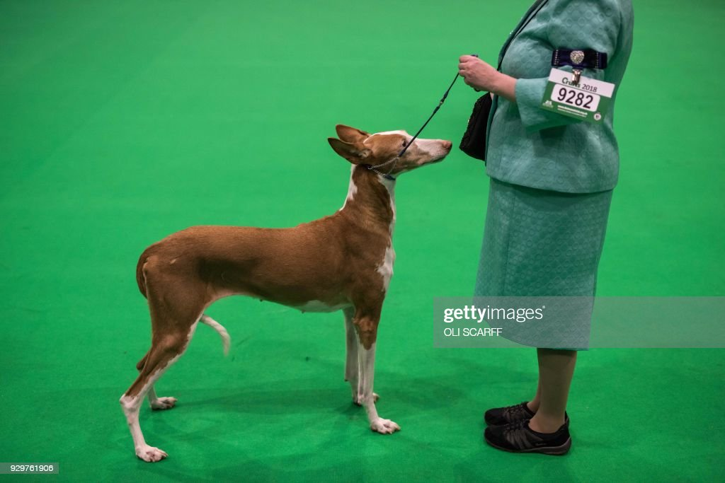 A woman holds her Ibizan Hound as it is judged on the second day of the Crufts dog show at the National Exhibition Centre in Birmingham, central England, on March 9, 2018. /