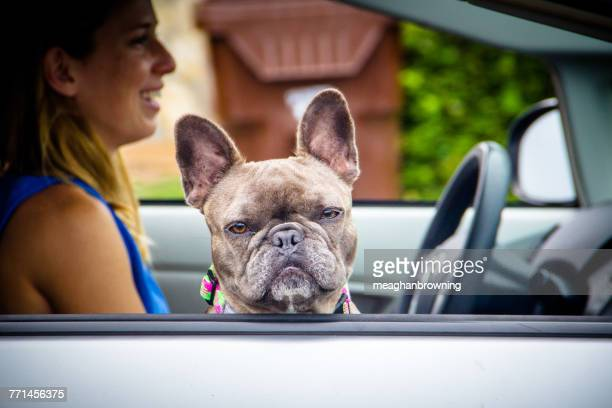 Woman in a car with a French bulldog sitting in passenger seat