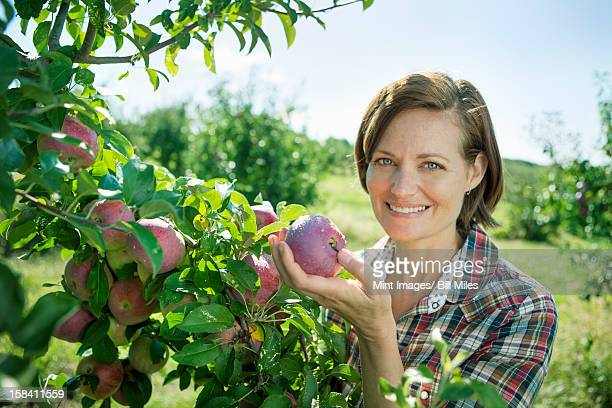 a woman in a plaid shirt picking apples from a laden bough of a fruit tree in the orchard at an organic fruit farm. - fruit laden trees stock pictures, royalty-free photos & images