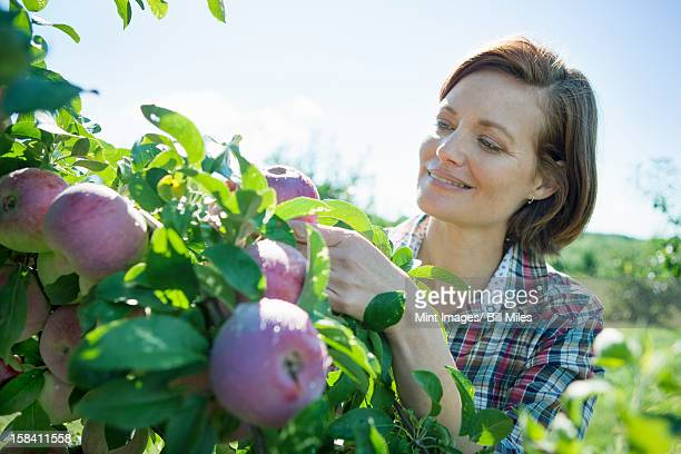 a woman in a plaid shirt picking apples from a laden branch of a fruit tree in the orchard at an organic fruit farm. - fruit laden trees stock pictures, royalty-free photos & images