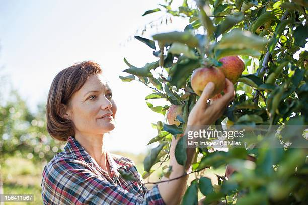 A woman in a plaid shirt picking apples in the orchard at an organic fruit farm.