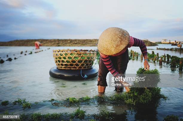CONTENT] A woman in a straw hat pulls up a rope of seaweed in a tidal seaweed farm on Nusa Lemongan Island where the economy is driven by seaweed...