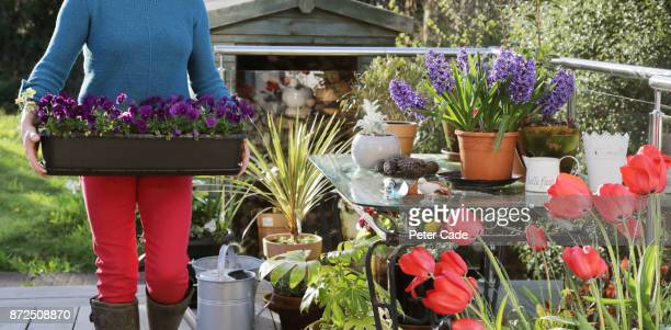 woman in garden moving flowerpot - pansy stock pictures, royalty-free photos & images