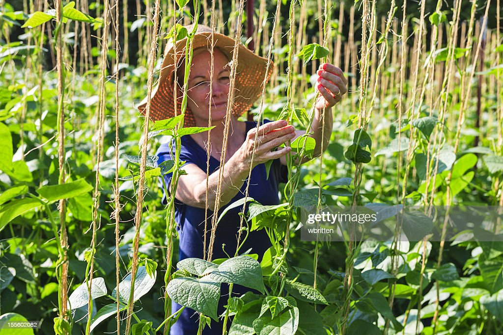 Woman in garden or farm with bean plants : Stock Photo