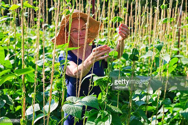 woman in garden or farm with bean plants - asheville stock pictures, royalty-free photos & images