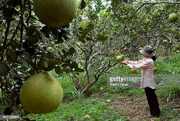 A woman in her pomelo plantation