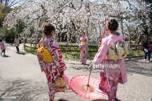 Woman in kimono takes photos under a cherry blossom trees in full bloom during Hanami or cherry blossom season in Maruyama park Kyoto prefecture...