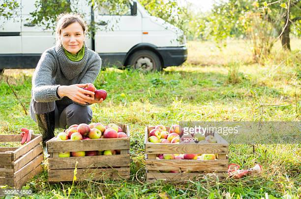 woman in organic apple orchard during autumn harvest. - apple fruit stock photos and pictures