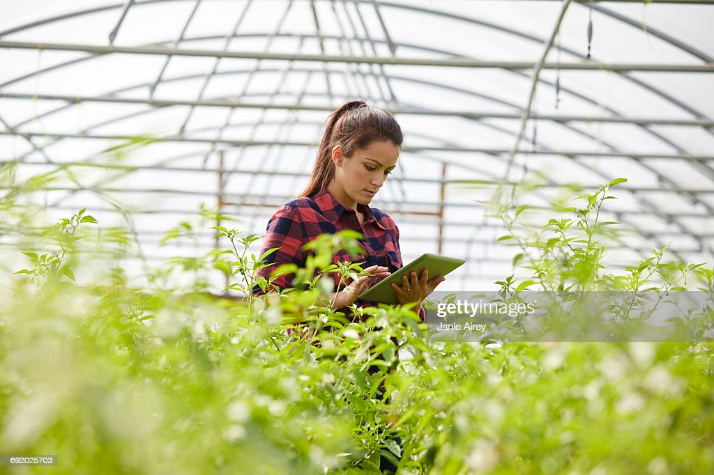 Woman in polytunnel using digital tablet : Stock Photo