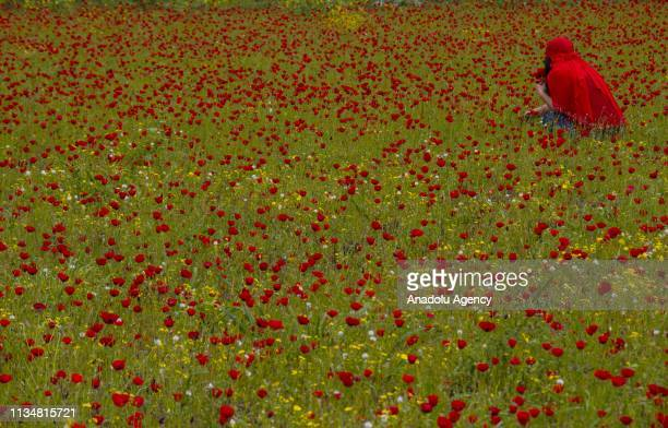 A woman in red clothing collects poppies at the foothills of Nur Mountains in Hatay Turkey on April 04 2019