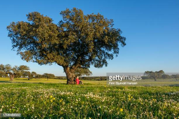 woman in red shirt sitting with her back against a olive tree in a green field. white flowers - finn bjurvoll ストックフォトと画像