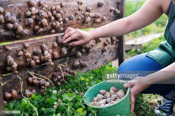 woman in snail farming picking snails. - snail stock pictures, royalty-free photos & images