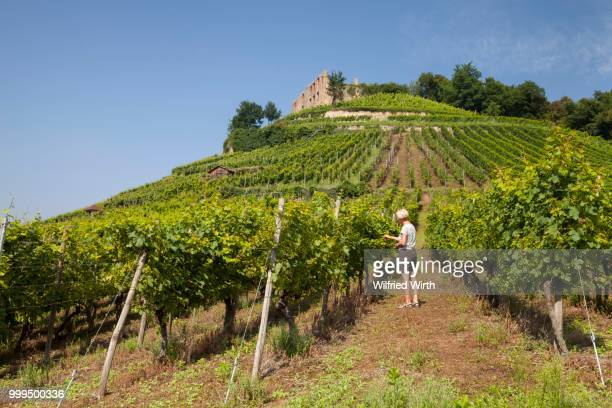 Woman in the vineyard, Staufen castle ruins on the vineyard, Staufen im Breisgau, Black Forest, Baden-Wuerttemberg, Germany