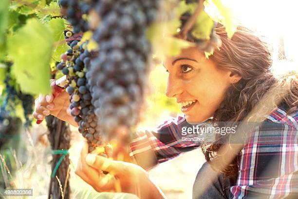 Mujer en viñedos de recolección de uvas