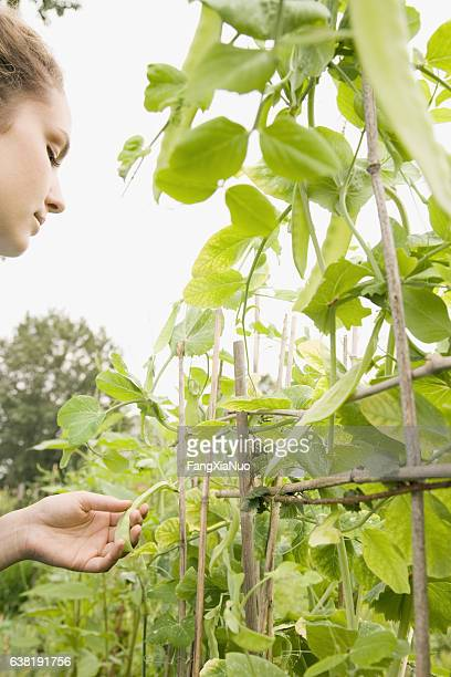 Woman inspecting sweet pea plants growing in community garden