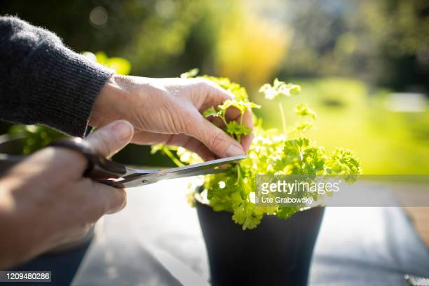 A woman is cutting Parsley with a sissor on April 08 2020 in Bonn Germany