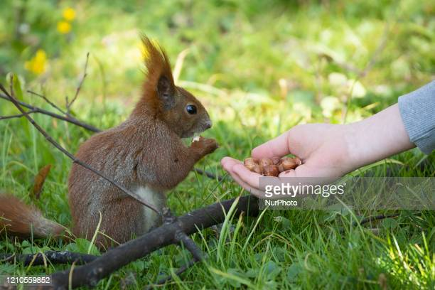 Woman is seen feeding a squirrel in the Royal Baths park in Warsaw, Poland on April 20, 2020. As Poland on Sunday reached it's peak of new COVID-19...