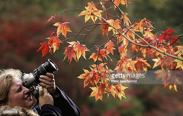 Woman is seen photographing the Autumnal colours of the leaves on trees at the National Arboretum at Westonbirt on October 22, 2005 in...