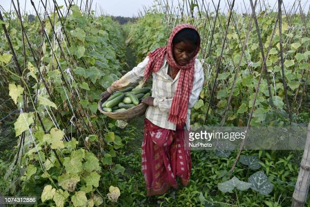 Woman labourer carrying harvested fresh cucumber in a farm to sell in the market in Barpeta Assam India about 100KM from Guwahati on Sunday December...
