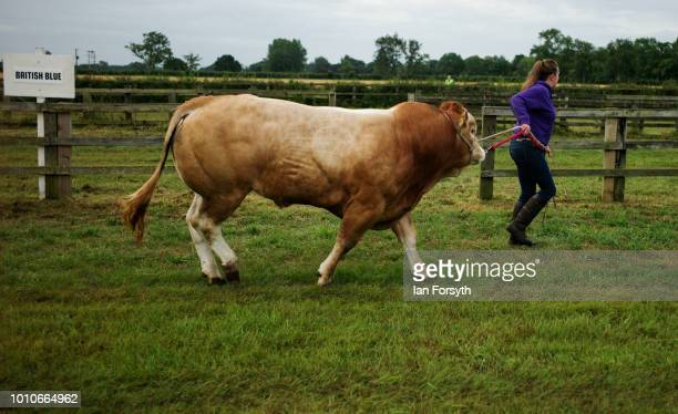 A woman leads her bull before tethering it to a fence during 152nd the Ryedale Country Show on July 31 2018 in Kirbymoorside England Held in Welburn...