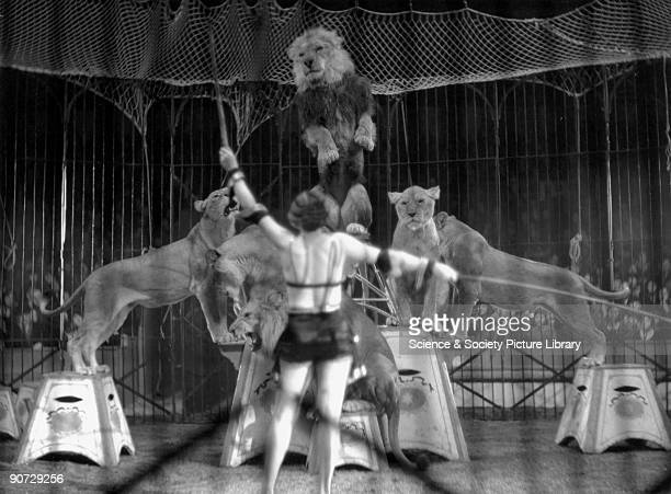 Woman lion tamer performing 1910s Woman lion tamer performing with circus lions c 1910s