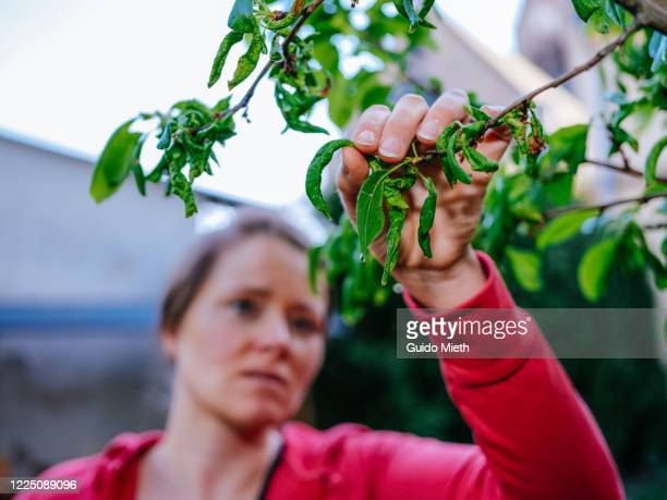 woman looking at sick fruit tree. - guido mieth stock pictures, royalty-free photos & images