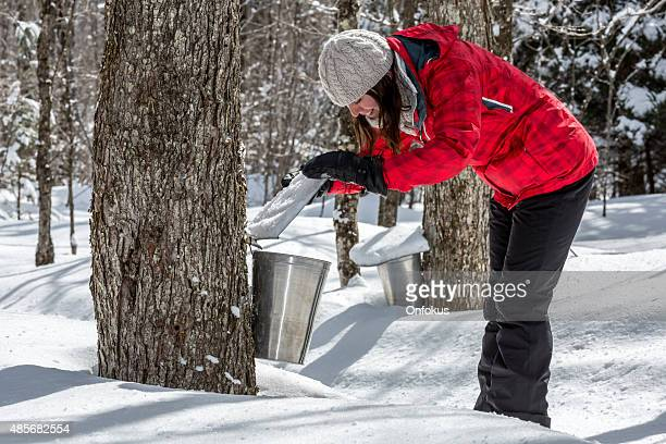 woman looking inside bucket collecting sap at sugar shack - maple tree stock pictures, royalty-free photos & images