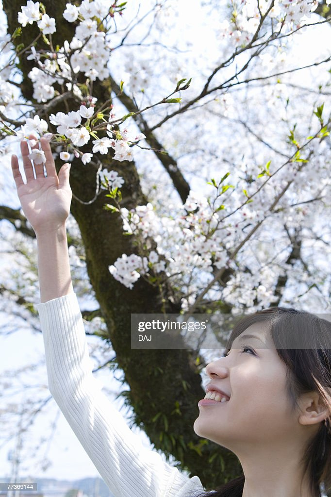 Woman looking up and touching cherry flowers, side view, Japan : Photo
