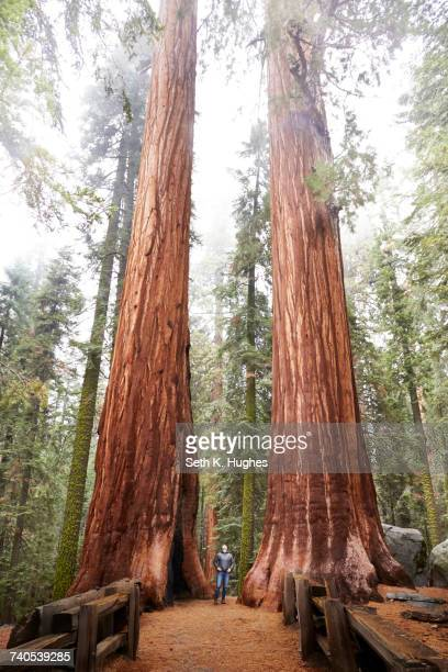 Woman looking up at sequoia trees in Sequoia National Park, California, United States
