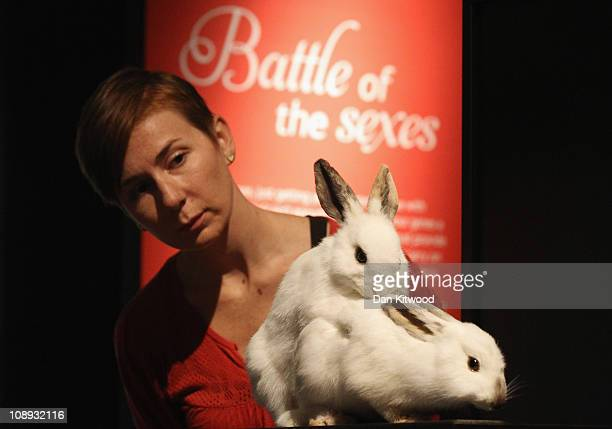 A woman looks at a pair of stuffed mating Rabbits at the Natural History Museum's new 'Sexual Nature' exhibition on February 9 2011 in London England...
