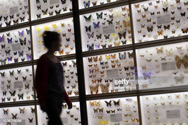 A woman looks at butterflies in the natural history area at the museum in Wiesbaden Germany 06 May 2013 After almost four years of redesign the...