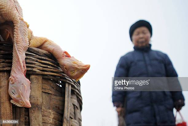 A woman looks at slaughtered chickens on sale at a stall on January 20 2009 in Chengdu of Sichuan Province china Following the deaths from 'bird flu'...