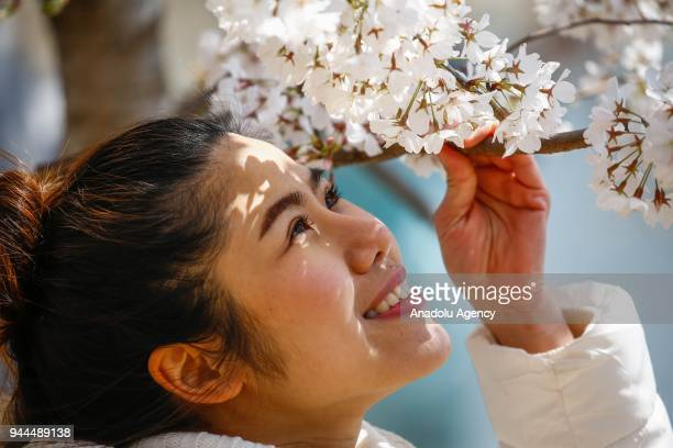 A woman looks at the blooming cherry trees which were sent from Tokyo after it was selected as 'town twinning' in 1912 along the Tidal Basin ahead of...