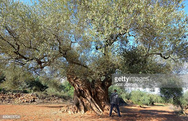A woman looks at the millennia old olive tree famous for staring in the film the Olive by Spanish director Iciar Bollain in an olive grove in the...