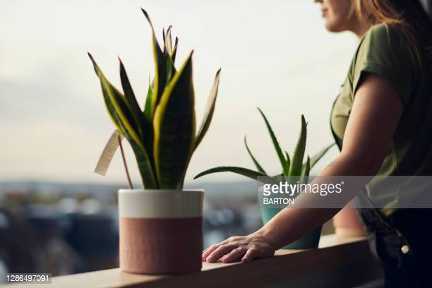 woman looks out of window with house plants on window sill - sanseveria trifasciata stock pictures, royalty-free photos & images