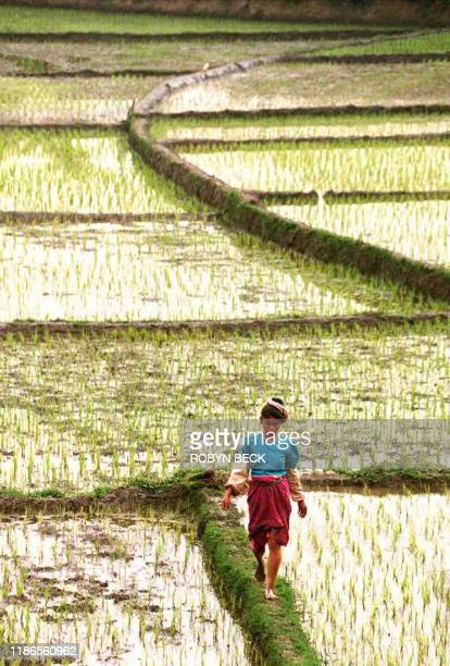 A woman makes her way through of field of terraced rice paddies near Jinghong in southwestern Yunnan province 09 January China forecast 25 January a...