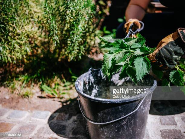 woman making environmentally friendly biocide of nettle plant. - guido mieth stock pictures, royalty-free photos & images