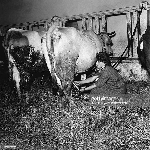 Woman milking a cow circa 1954 in France